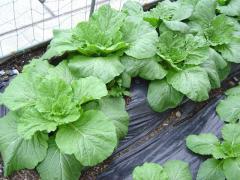 旭ヶ丘の畑の野菜