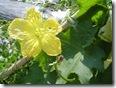 DSC07903へちまの花